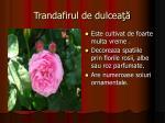 trandafirul de dulcea