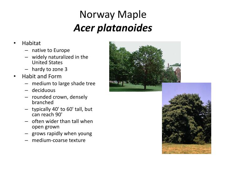 norway maple acer platanoides n.