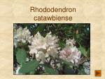 rhododendron catawbiense3