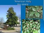 american holly ilex opaca