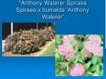 anthony waterer spiraea spiraea x bumalda anthony waterer