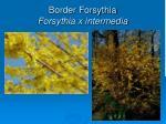 border forsythia forsythia x intermedia