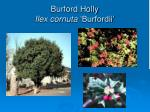 burford holly ilex cornuta burfordii