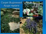 carpet bugleweed ajuga reptans