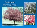 crabapple malus species