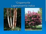 crapemyrtle lagerstroemia indica