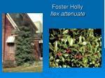 foster holly ilex attenuate
