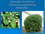 manhattan euonymus euonymus kiautschovica manhattan
