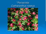 periwinkle catharanthus roseus