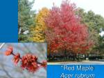 red maple acer rubrum1