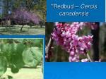 redbud cercis canadensis