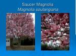 saucer magnolia magnolia soulangiana