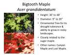bigtooth maple acer grandidentatum1
