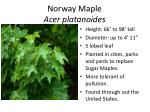 norway maple acer platanoides1