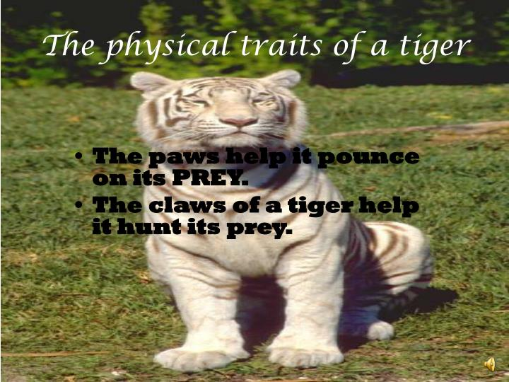 The physical traits of a tiger