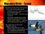 migratory birds scaup