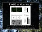 foxp2 im mausmodell2