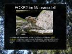 foxp2 im mausmodell3