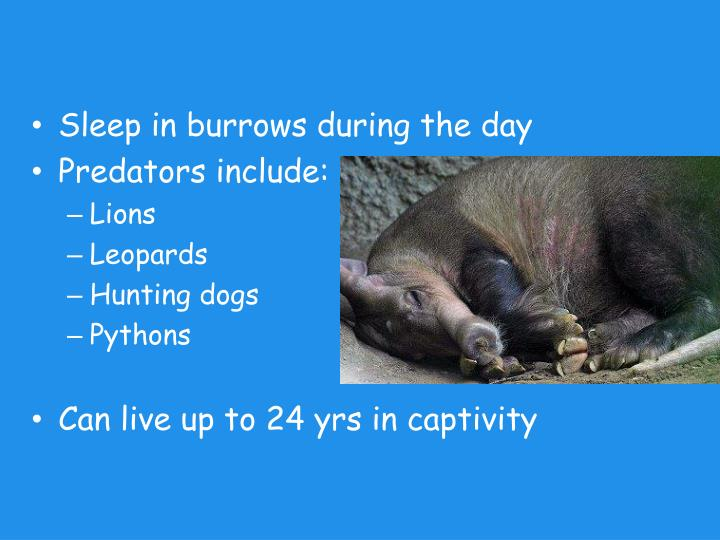 Sleep in burrows during the day