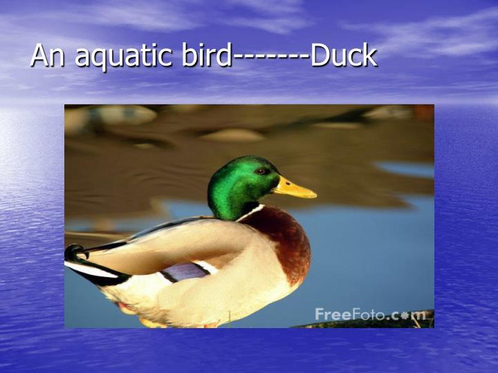 An aquatic bird-------Duck