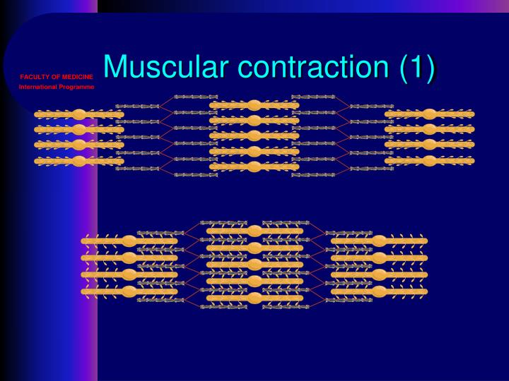 Muscular contraction (1)