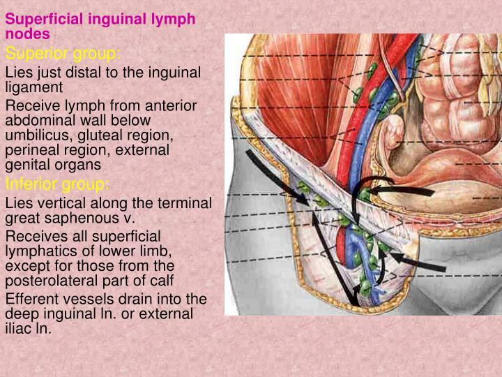 PPT - lowerlimb PowerPoint Presentation - ID:3933509 Inguinal Lymphadenopathy