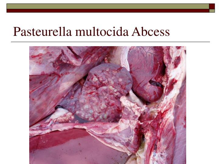 Pasteurella multocida Abcess