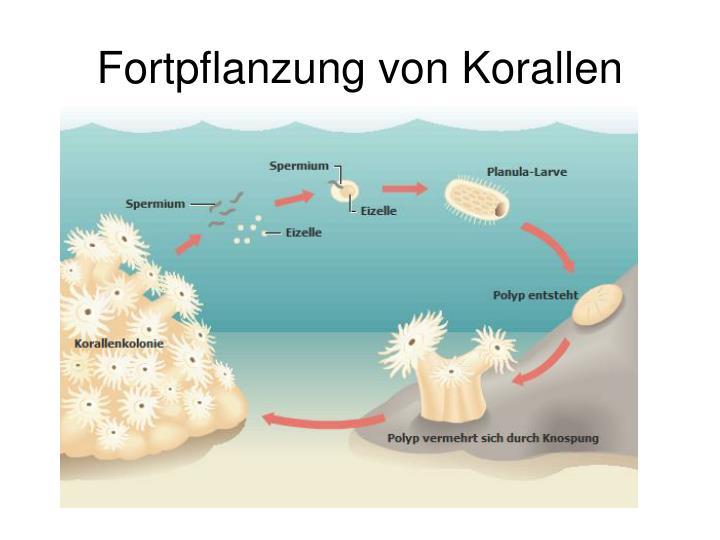 Entstehung Korallenriff