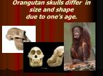 orangutan skulls differ in size and shape due to one s age