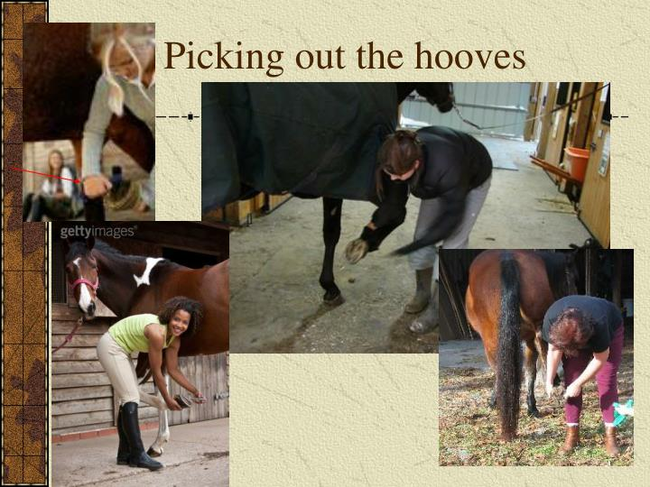 Picking out the hooves