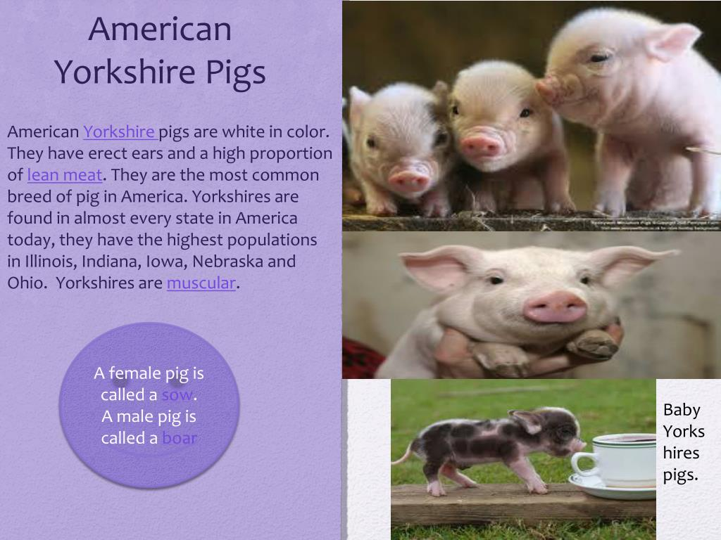 Ppt American Yorkshire Pig Powerpoint Presentation Free