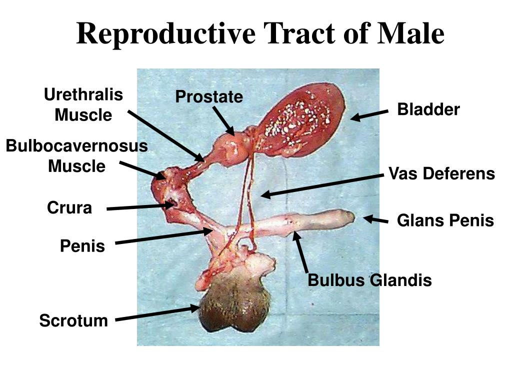PPT - Reproductive Tract of Male PowerPoint Presentation - ID:3956703