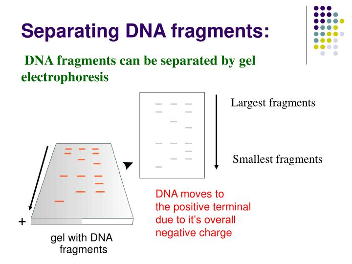 DNA fragments can be separated by gel electrophoresis