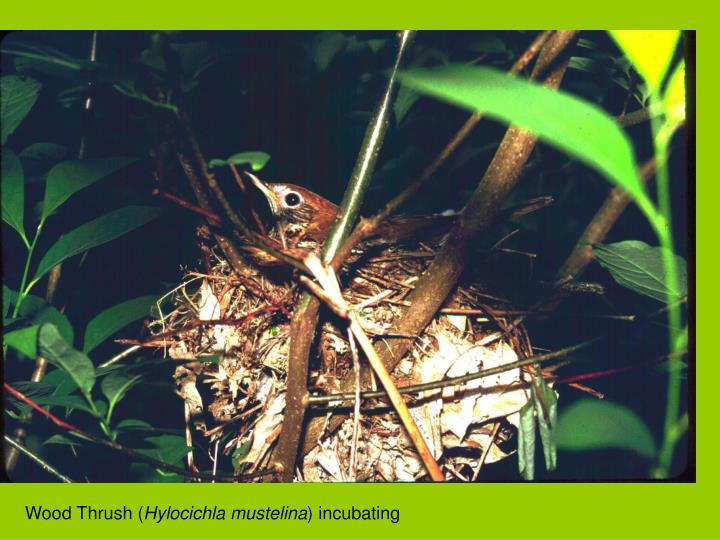 Wood Thrush (