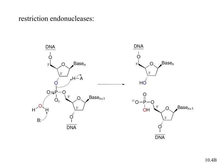 restriction endonucleases: