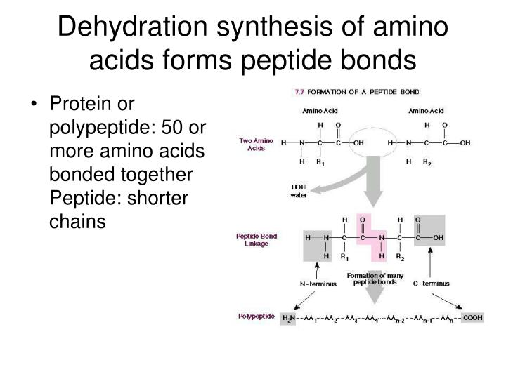 Dehydration synthesis of amino acids forms peptide bonds