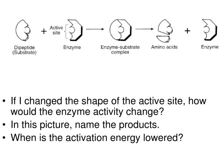 If I changed the shape of the active site, how would the enzyme activity change?