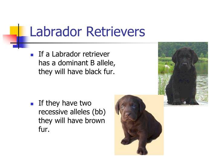 Labrador retrievers1