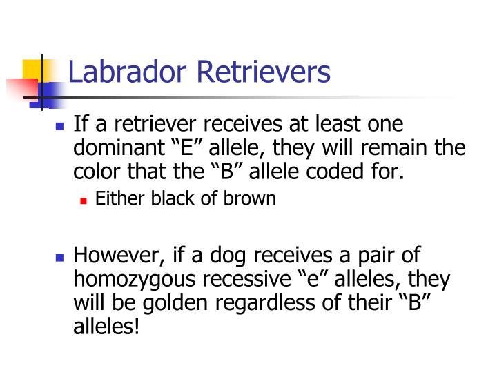 Labrador retrievers2