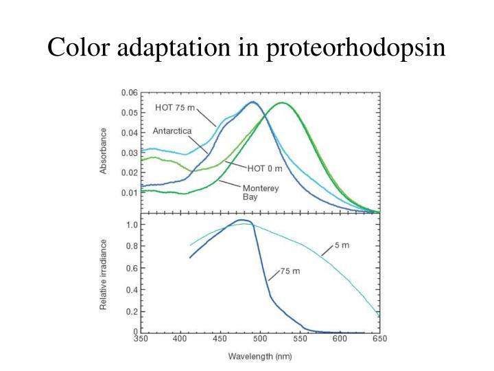 Color adaptation in proteorhodopsin