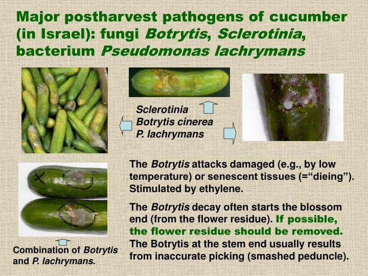Major postharvest pathogens of cucumber (in Israel): fungi