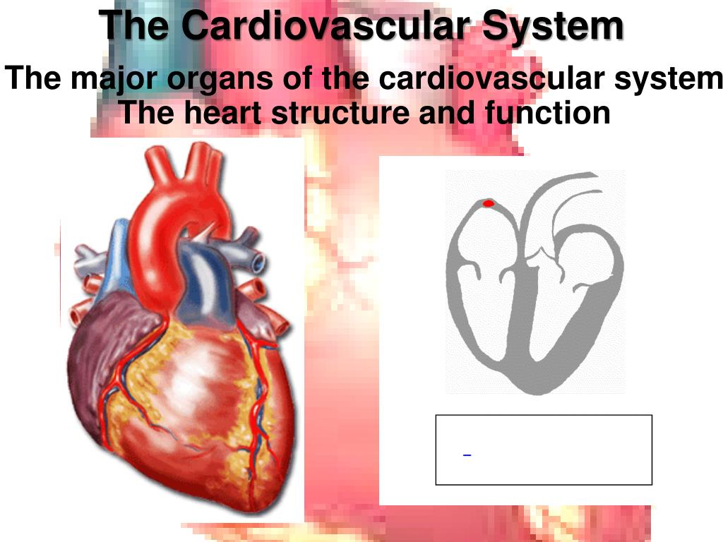 Ppt The Cardiovascular System Powerpoint Presentation Id3969505