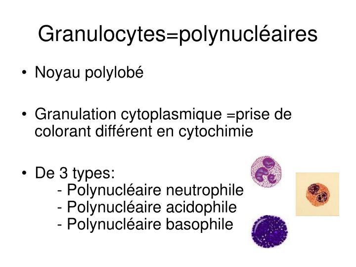 Granulocytes=polynucléaires