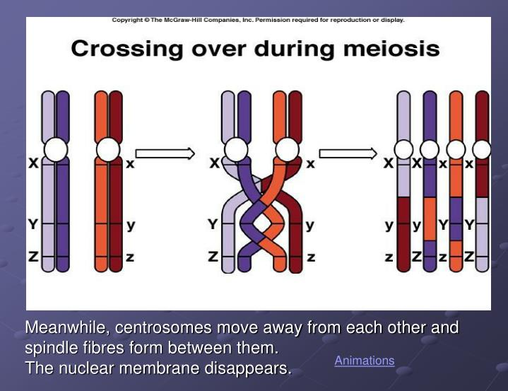 Meanwhile, centrosomes move away from each other and spindle fibres form between them.