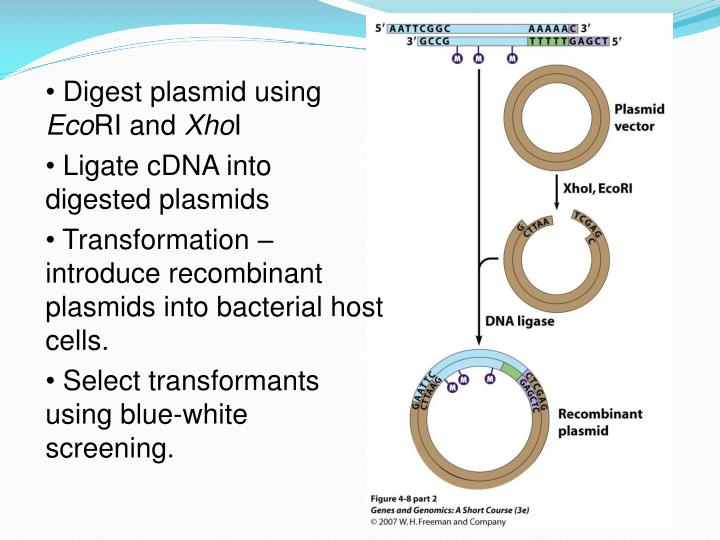 Digest plasmid using
