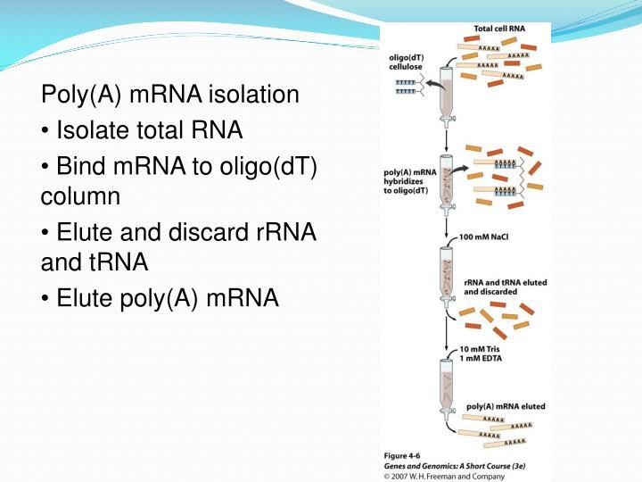 Poly(A) mRNA isolation