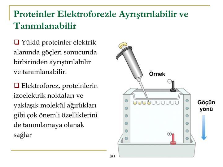 Proteinler Elektroforezle Ayrıştırılabilir ve Tanımlanabilir