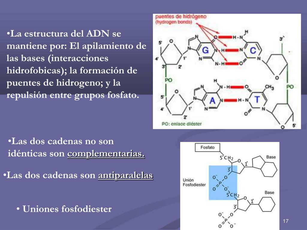 Ppt Estructura De Los ã Cidos Nucleicos Powerpoint