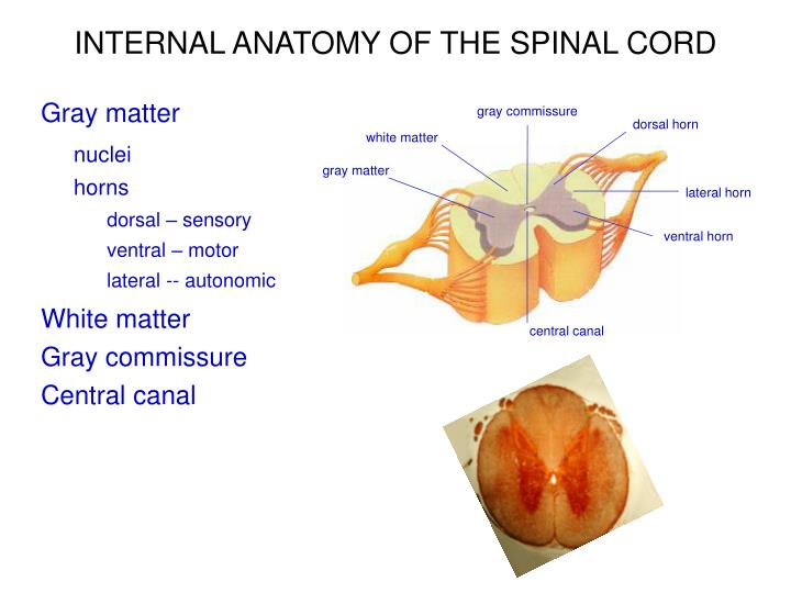 Ppt Motor Functions Of The Spinal Cord And The Cord Reflexes