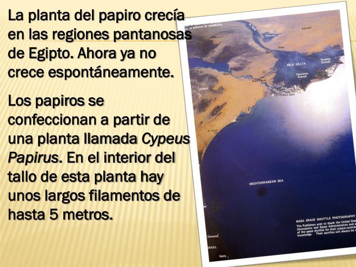 La planta del papiro crecía en las regiones pantanosas de Egipto. Ahora ya no crece espontáneamente.